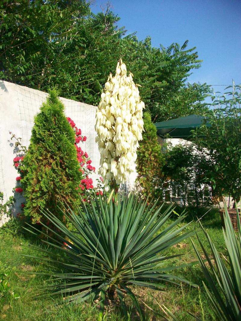 цветение юки